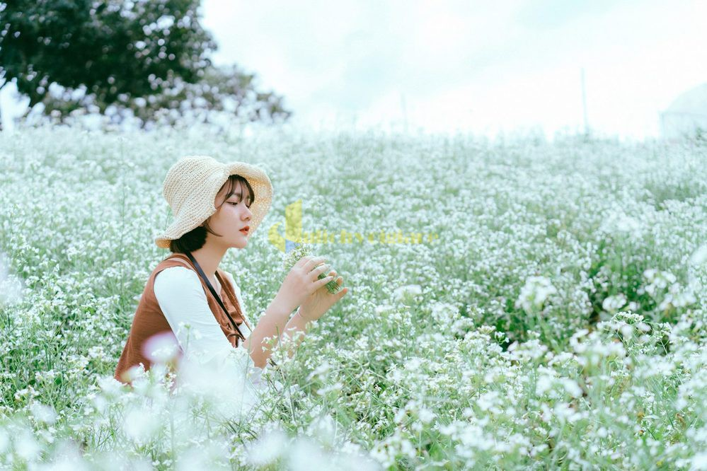 cải-trắng Những loài hoa đẹp nhất đà lạt vào dịp cuối năm