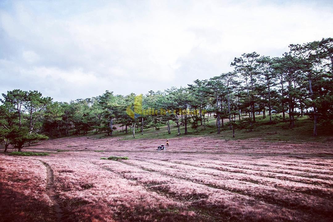 cỏ-lau-màu-hồng Những loài hoa đẹp nhất đà lạt vào dịp cuối năm