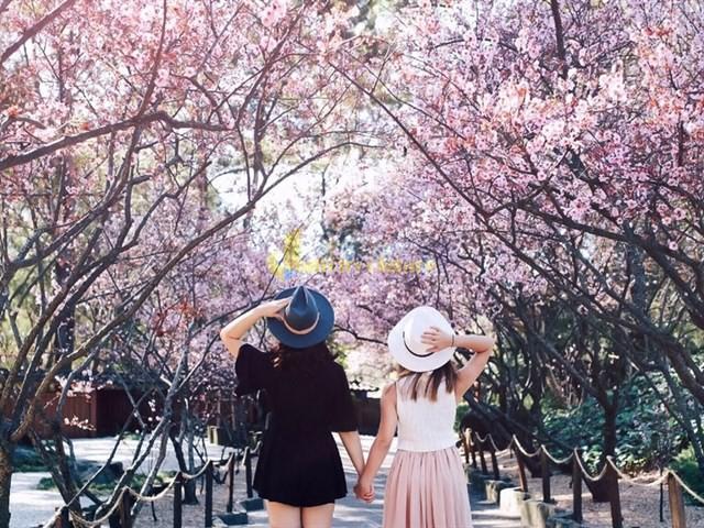 hoa-anh-đào Những loài hoa đẹp nhất đà lạt vào dịp cuối năm
