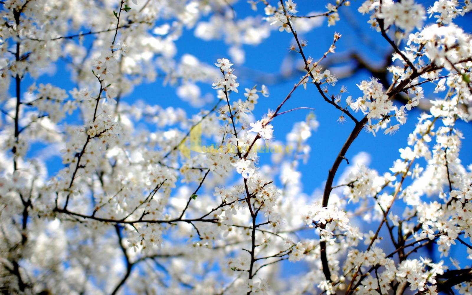 hoa-ban-trắng Những loài hoa đẹp nhất đà lạt vào dịp cuối năm