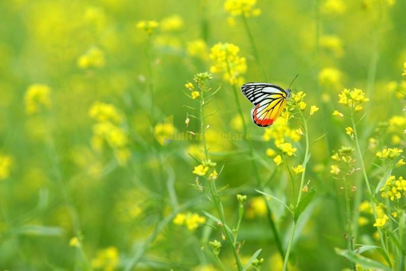 hoa-cải-vàng Những loài hoa đẹp nhất đà lạt vào dịp cuối năm