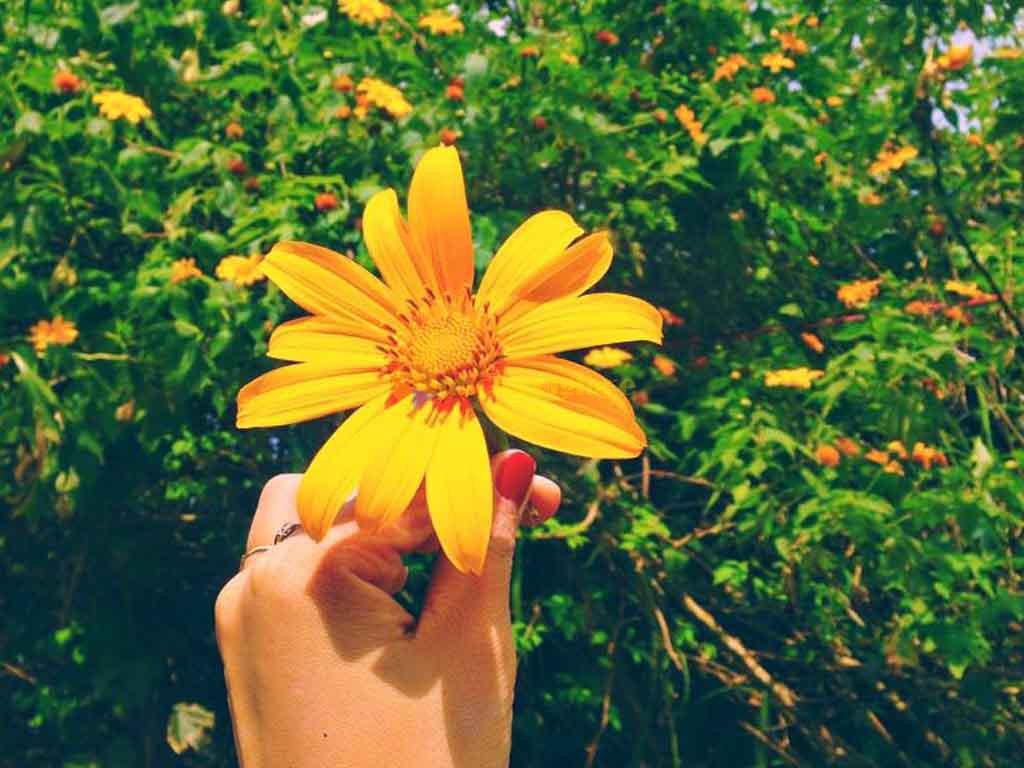 hoa-dã-quỳ Những loài hoa đẹp nhất đà lạt vào dịp cuối năm