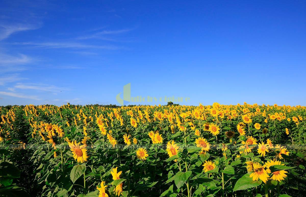 hoa-huong-duong-da-lat-5 Những loài hoa đẹp nhất đà lạt vào dịp cuối năm