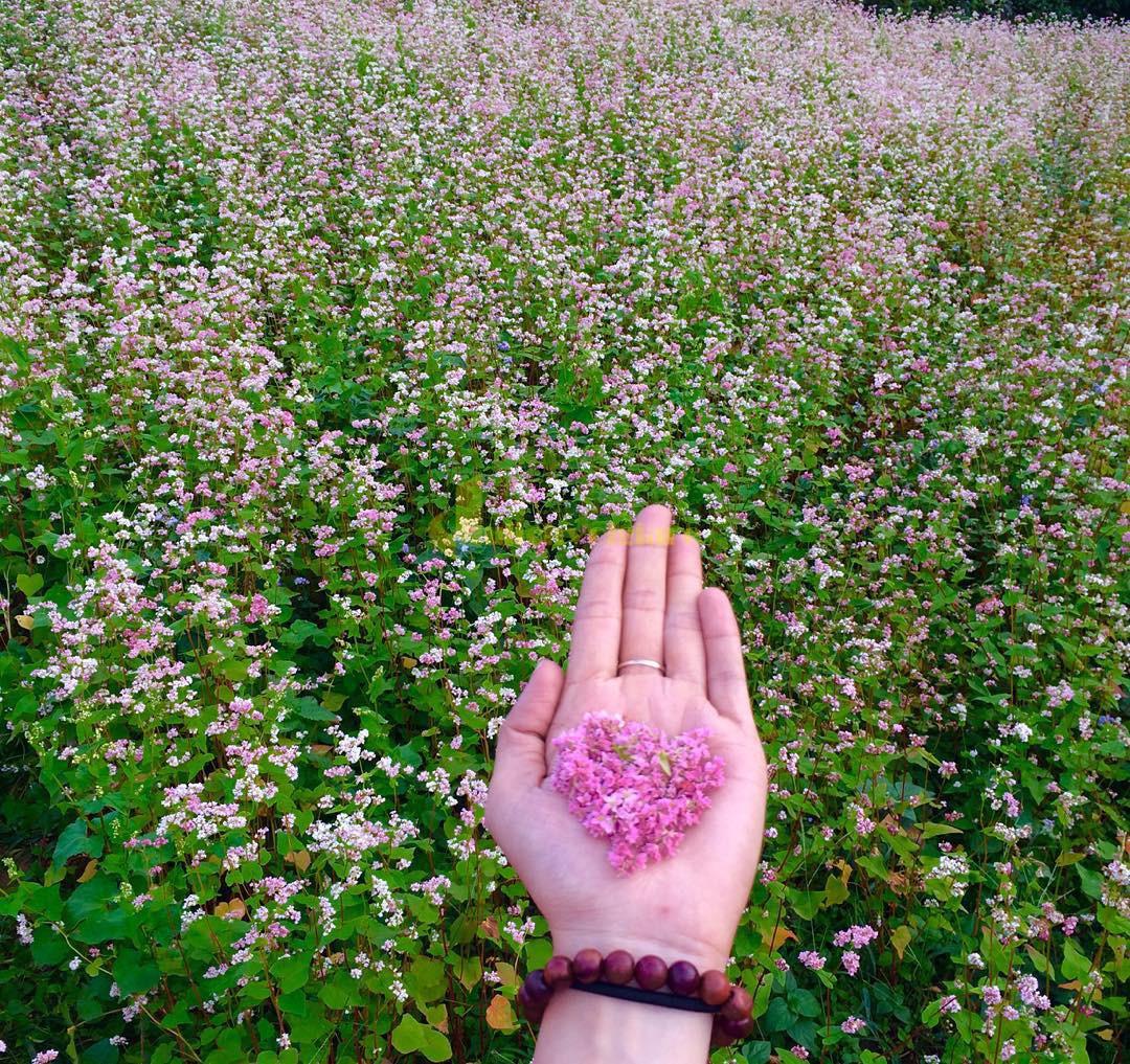 hoa-tam-giác-mạch Những loài hoa đẹp nhất đà lạt vào dịp cuối năm