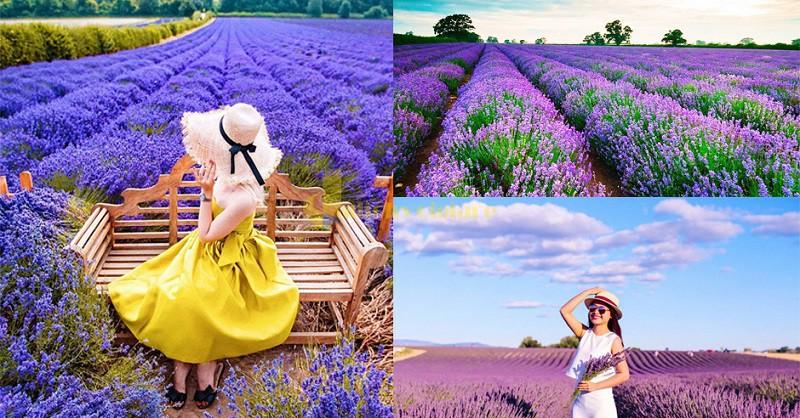 lavender-1 Những loài hoa đẹp nhất đà lạt vào dịp cuối năm