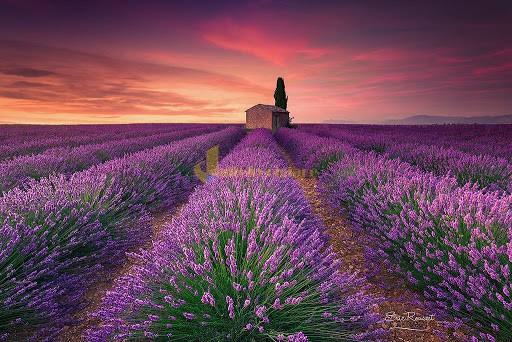 lavender Những loài hoa đẹp nhất đà lạt vào dịp cuối năm