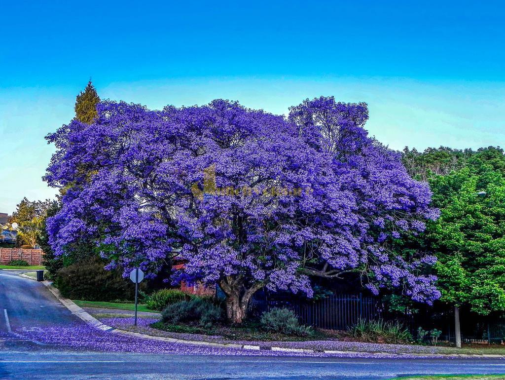 mua-hoa-phuong-tim-da-lat-1 Những loài hoa đẹp nhất đà lạt vào dịp cuối năm