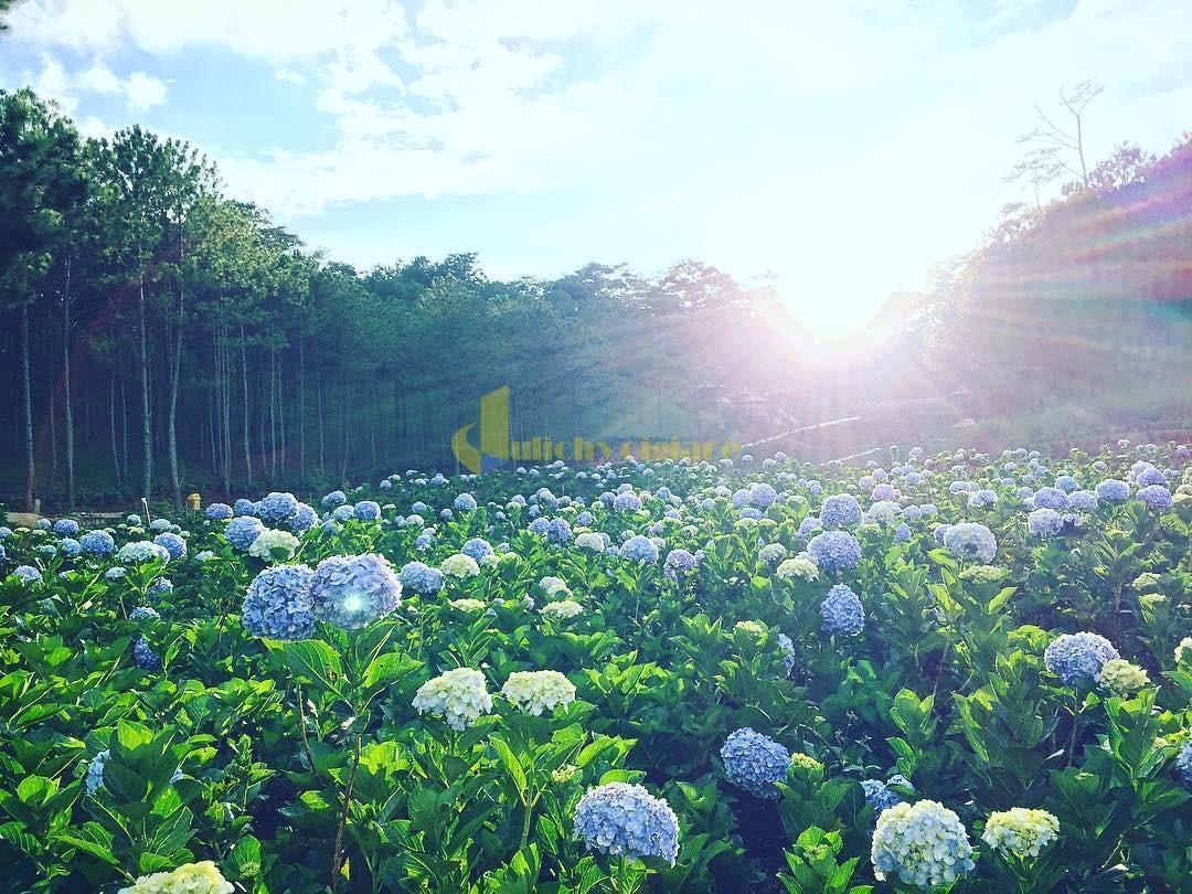 tú-cầu Những loài hoa đẹp nhất đà lạt vào dịp cuối năm