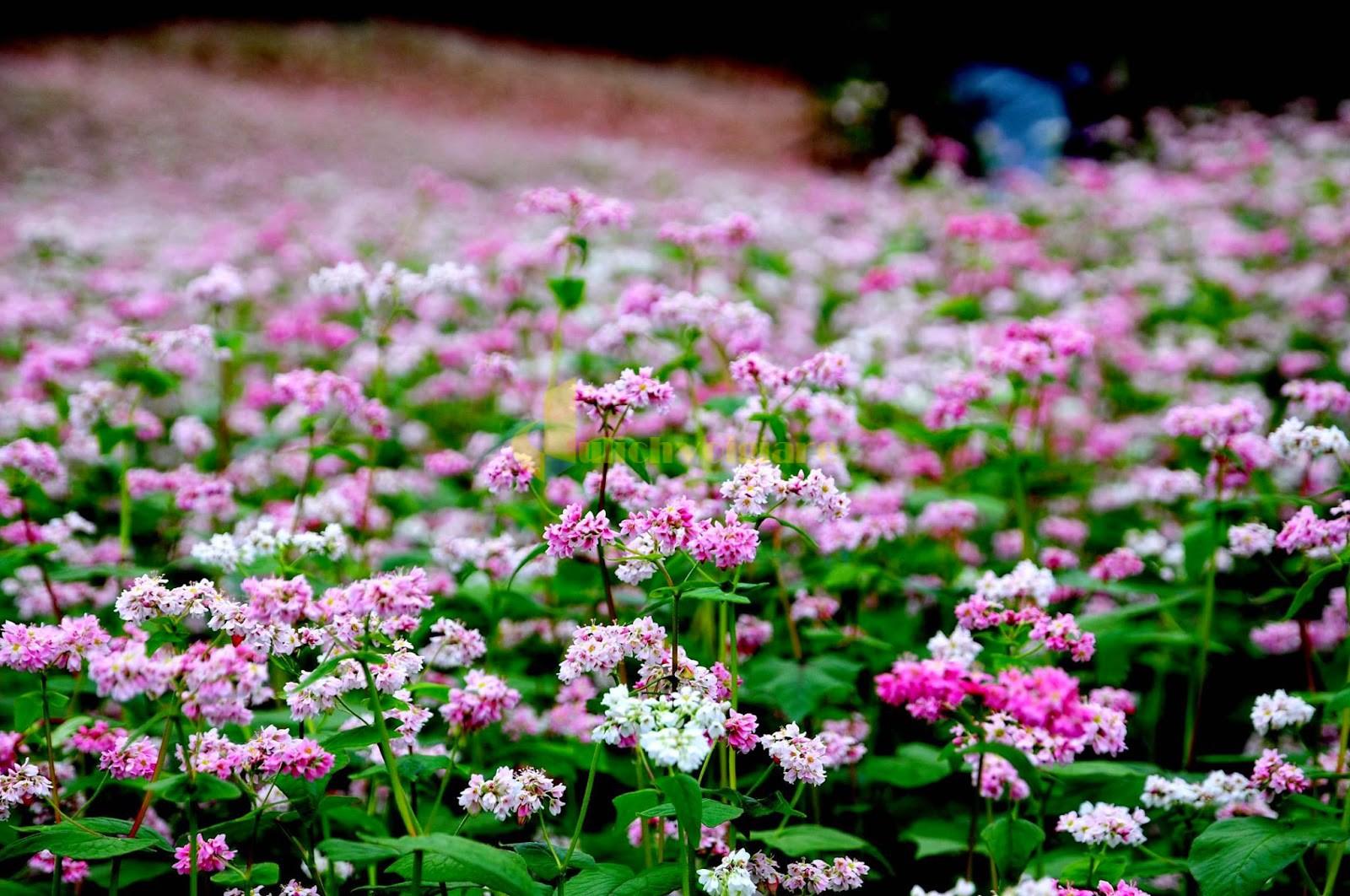 vườn-hoa-tam-giác-bạch Những loài hoa đẹp nhất đà lạt vào dịp cuối năm