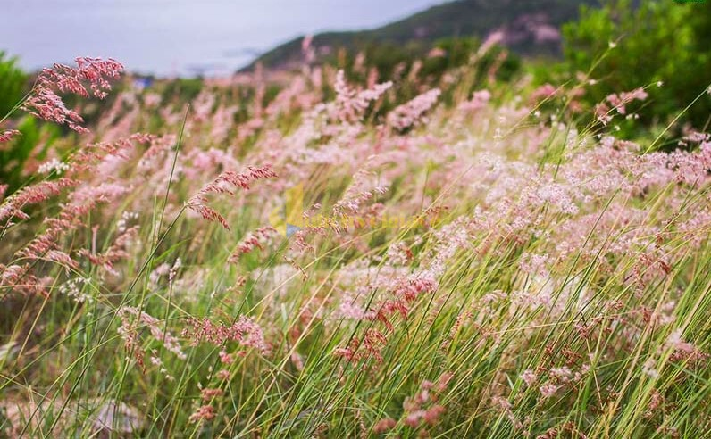 i-cỏ-hồng Bình Ba - Quốc đảo Tôm Hùm Số 1 Khánh Hòa