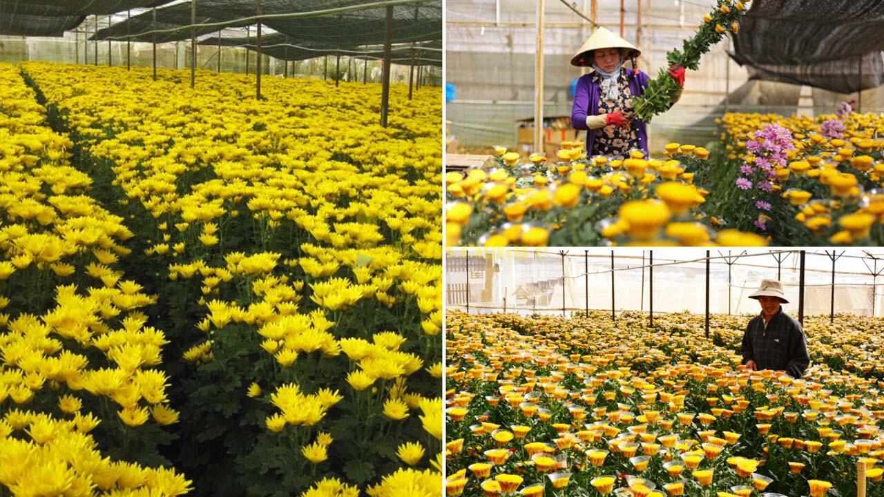 """cúc Top 15 loài hoa """"xinh đẹp"""" tại Đà Lạt"""
