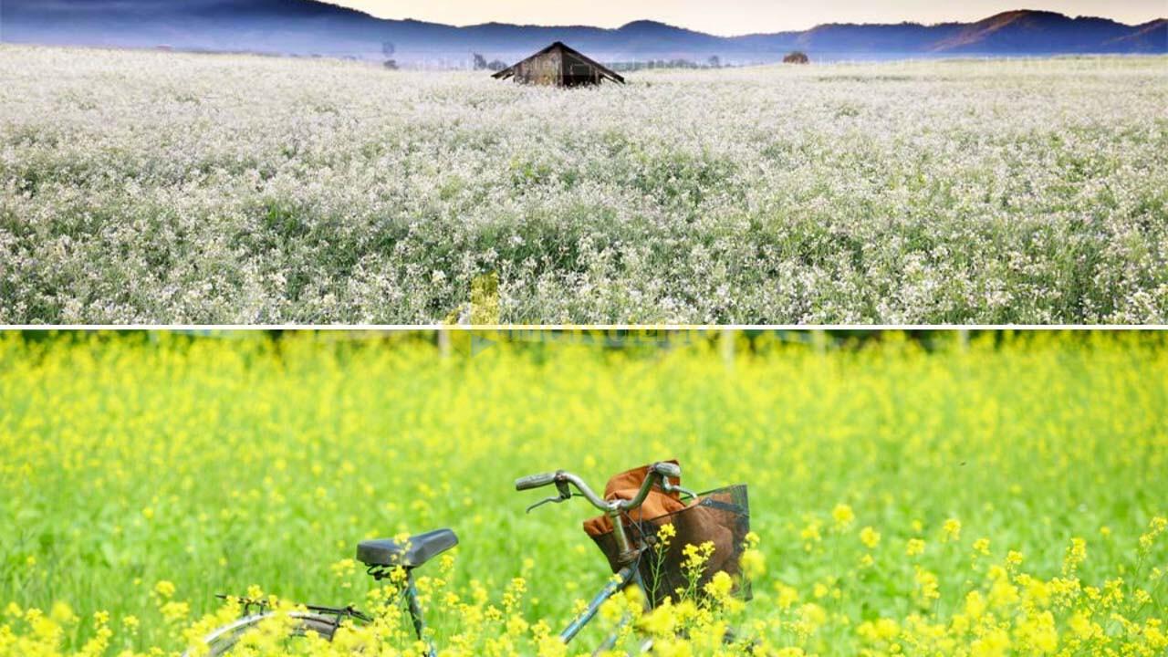 """cai-trang-cai-vang Top 15 loài hoa """"xinh đẹp"""" tại Đà Lạt"""