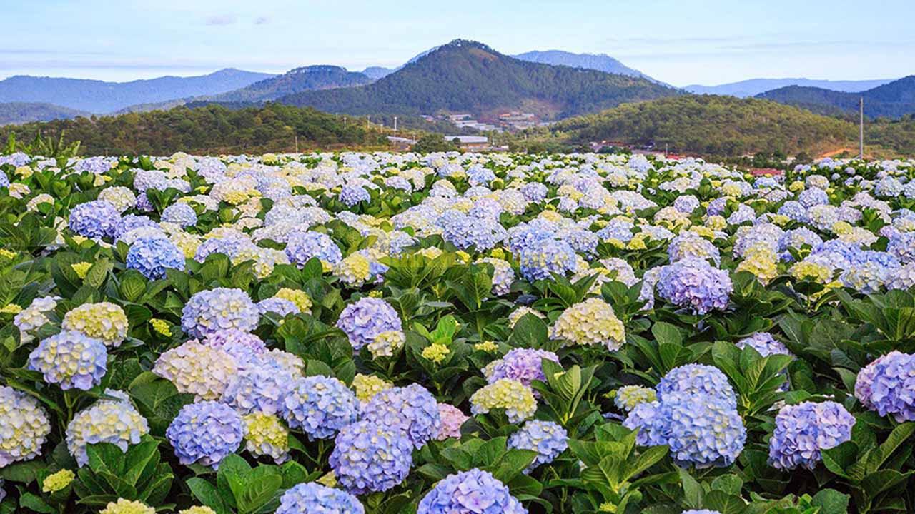 """cam-tu-cau Top 15 loài hoa """"xinh đẹp"""" tại Đà Lạt"""