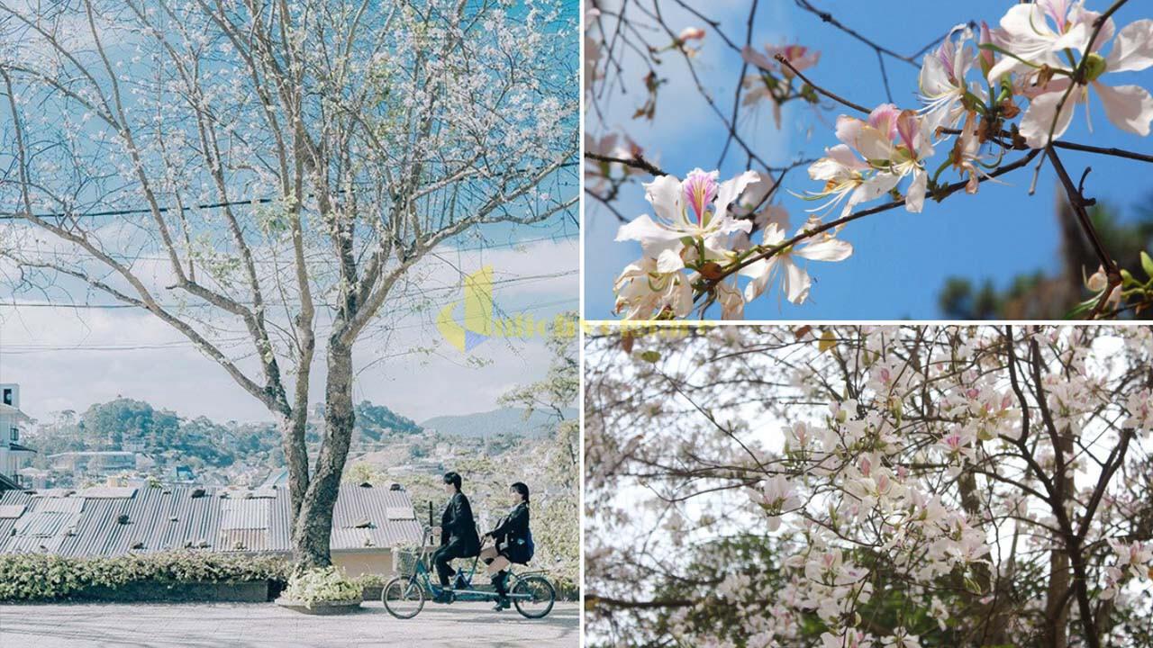 """hoa-ban-trang Top 15 loài hoa """"xinh đẹp"""" tại Đà Lạt"""