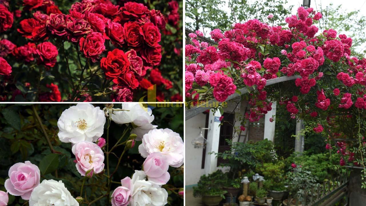 """hoa-hong Top 15 loài hoa """"xinh đẹp"""" tại Đà Lạt"""
