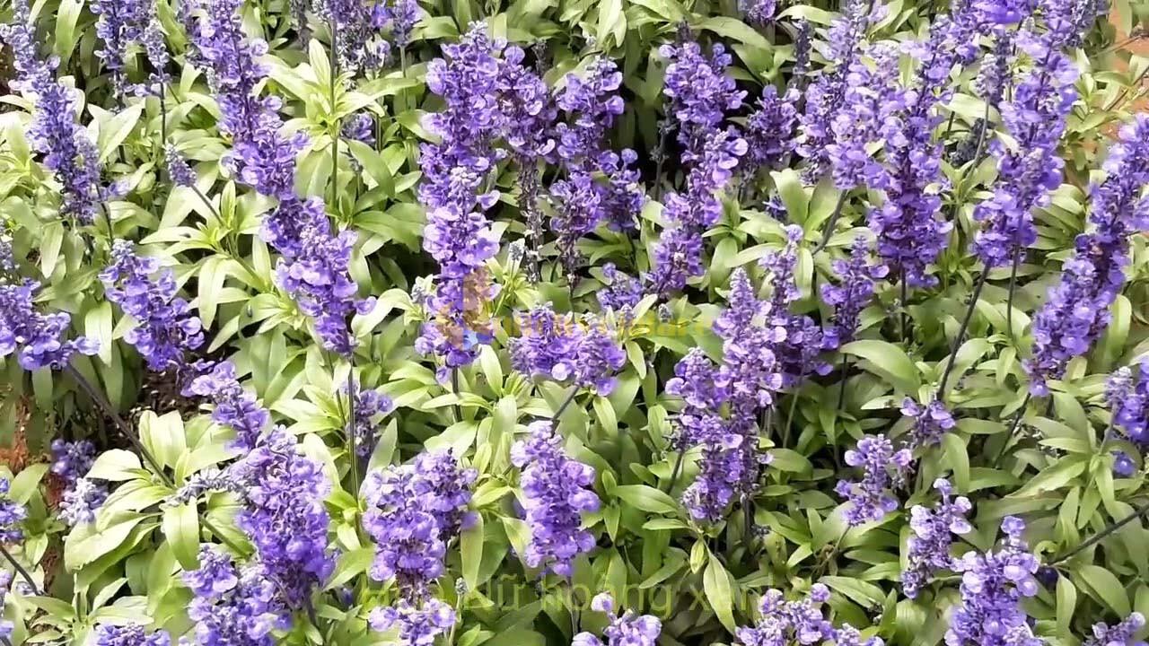 """hoa-nu-hoang-xanh Top 15 loài hoa """"xinh đẹp"""" tại Đà Lạt"""