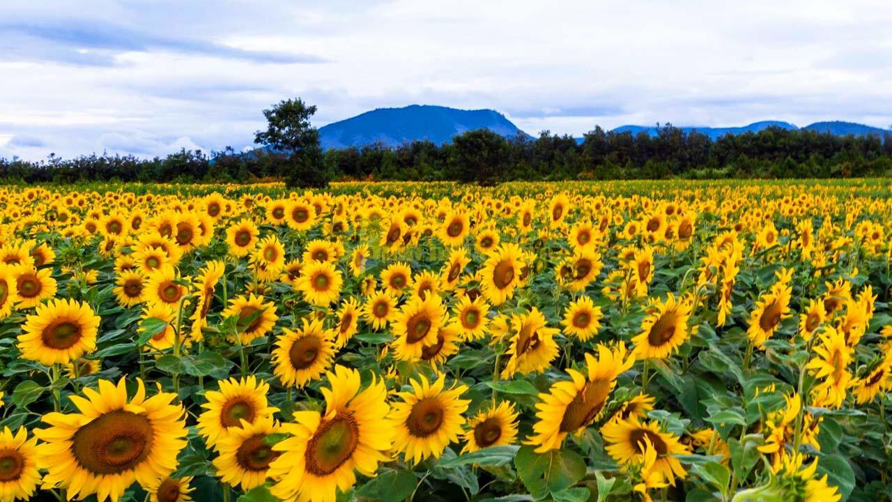 """huong-duong Top 15 loài hoa """"xinh đẹp"""" tại Đà Lạt"""