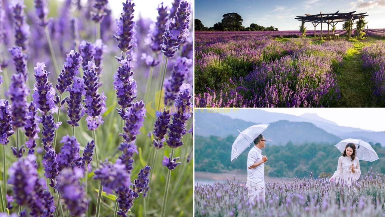 """lavender Top 15 loài hoa """"xinh đẹp"""" tại Đà Lạt"""