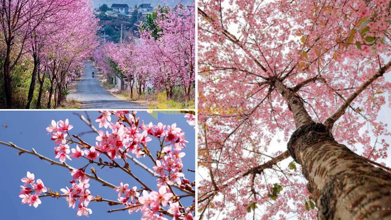 """mai-anh-dao Top 15 loài hoa """"xinh đẹp"""" tại Đà Lạt"""