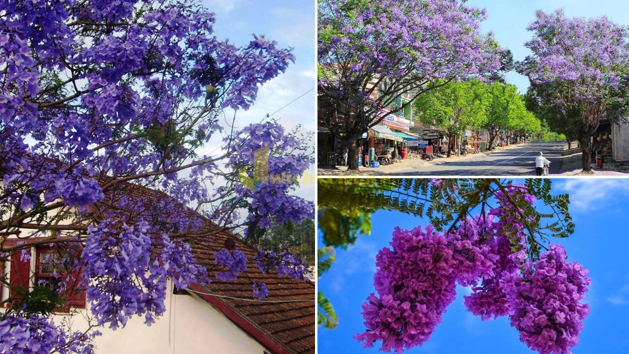 """phuong-tim Top 15 loài hoa """"xinh đẹp"""" tại Đà Lạt"""